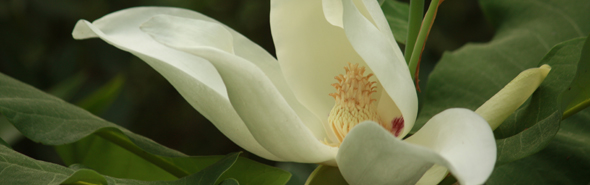 Beautiful Magnolia flower.